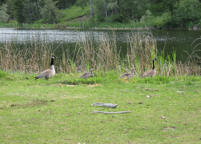 Geese Family By My Pond Healthy Awakenings